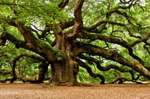 oak dab