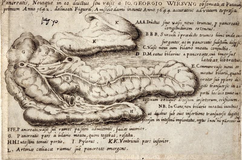 https://upload.wikimedia.org/wikipedia/commons/7/7b/The_pancreas_and_the_pancreatic_duct_%28Wirsung%29.jpg