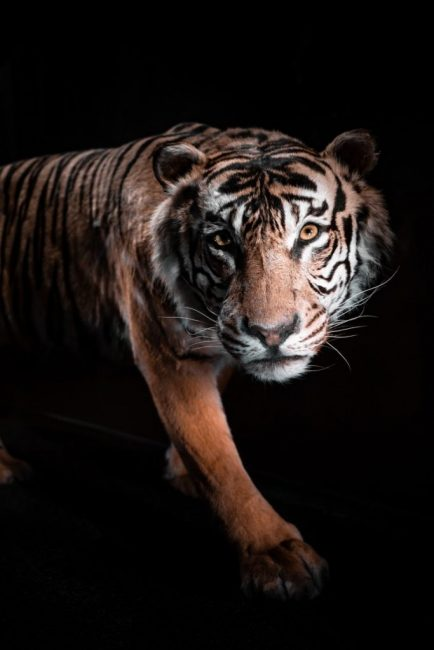 brown and white tiger on black background