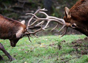 Walczące jelenie na polanie w lesie